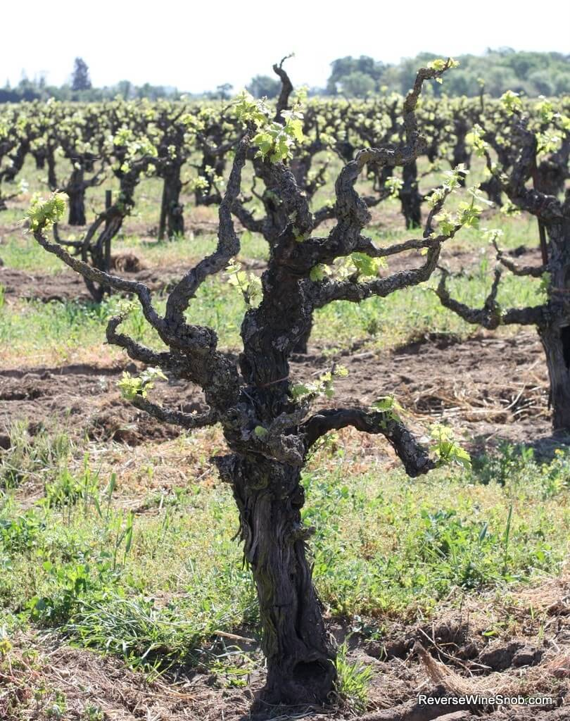 The amazing old vine Cinsault of the Bechthold Vineyard.