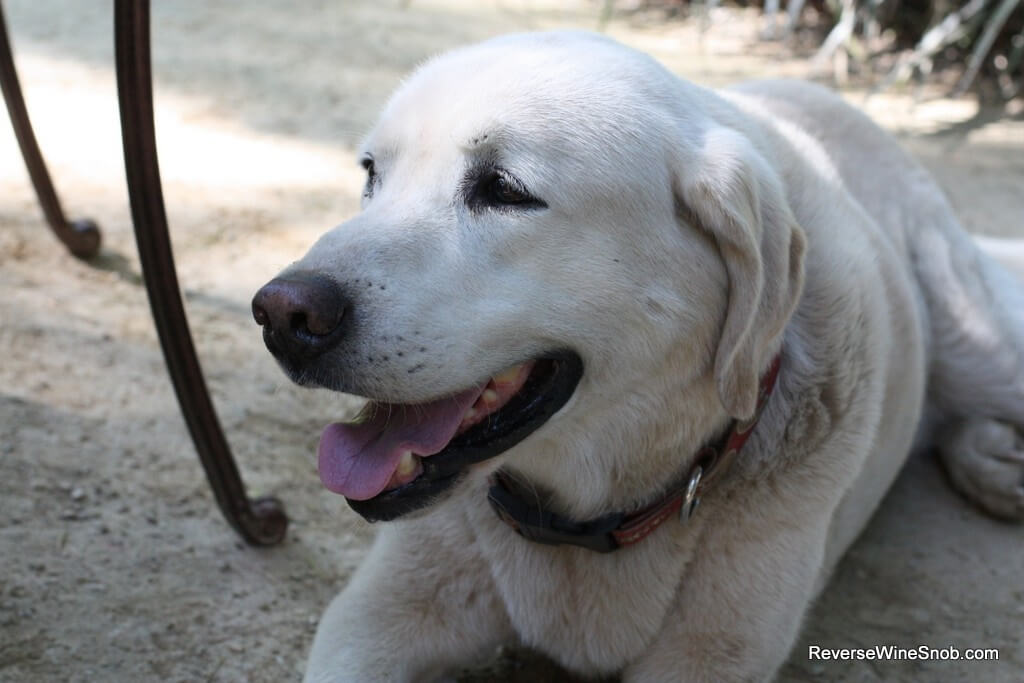 The late Ranger, the Harney Lane vineyard dog who unfortunately passed away a few weeks after our visit.