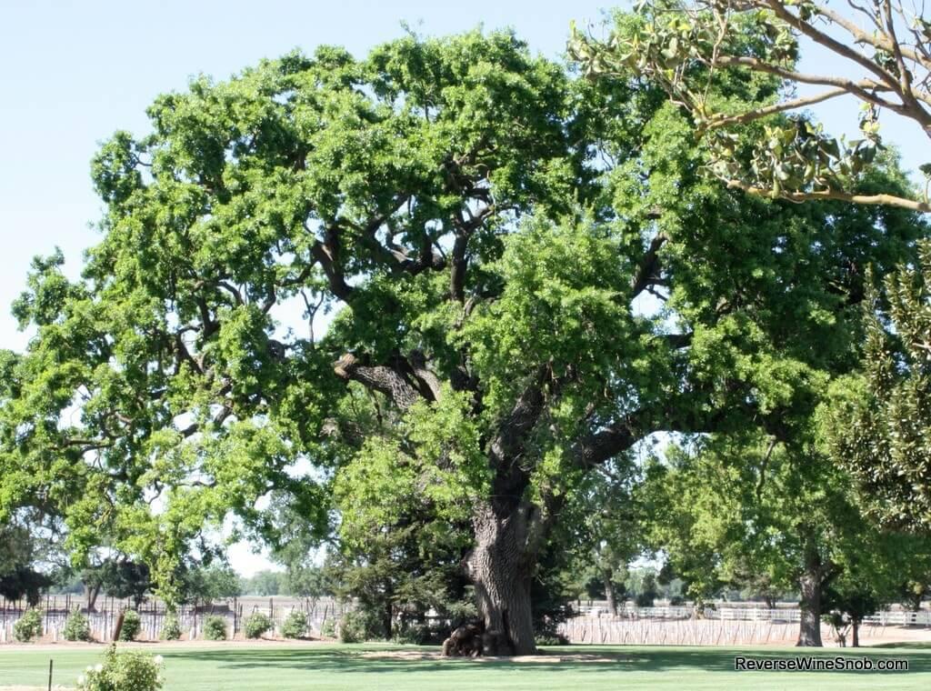Oak Farm Vineyards 400 year old oak tree