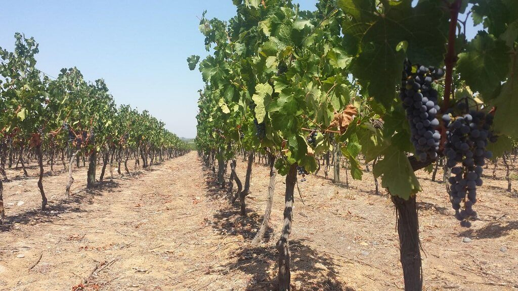Water and Wine - Irrigation And Dry Farming. Ask The Expert!
